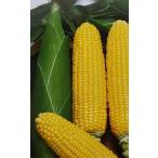 トウモロコシ種 F1 プレミアムスイート86(2000粒) [栽培用 種子 とうもろこし 玉蜀黍 スイートコーン 生産者向け]