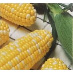 トウモロコシ種 カクテル84EX (2000粒) [栽培用 種子 とうもろこし 玉蜀黍 スイートコーン 生産者向け]