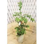 ジャボチカバ プラスチック鉢 高さ約80cm〜90cm【限定品の観葉植物】