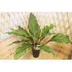 アンスリウム フーケリー 高さ約65cm プラ鉢 観葉植物
