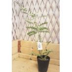 ユーカリ クルセアナ プラ鉢 高さ約80cm〜90cm【定番の観葉植物】