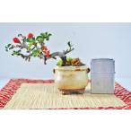 上級 長寿梅盆栽 豆サイズ チョウジュバイ ちょうっじゅばい 豆盆栽 数量物