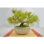 お買得 四国五葉松 盆栽 模様木 しこくごようまつ 小品盆栽 ミニ盆栽 現品