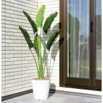 Yahoo!光の楽園ショップ モントブレッテガーデニング用、人工観葉植物 オーガスタL1.8m、新商品