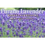 富良野ラベンダー苗  苗木1年もの 濃紫3号 送料無料 富良野ラベンダー