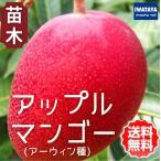 マンゴー苗木(アップルマンゴー・アーウィン種 苗 販売)24cmポット 家庭菜園 鉢植え