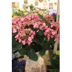 17・NEW・剪定花なし・アジサイ ルージュマジックレッド 8号鉢ラッピング込