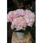 17・剪定花なし・アジサイ ゼブラ フラミンゴ 5号鉢ラッピング込