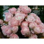 18・NEW・バラ苗・切り花品種接ぎ木 SPフェアリーカップ2〜3号