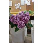 18・NEW・バラ苗・切り花品種接ぎ木 KN29-70パープル2〜3号