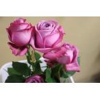 19・NEW・バラ苗・切り花品種接ぎ木 kn29−261パープル 2〜3号