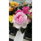 19・NEW・バラ苗・切り花品種接ぎ木 kn30-131 2〜3号