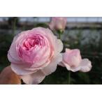 19・NEW・バラ苗・切り花品種接ぎ木 kn30−23 2〜3号
