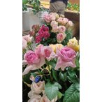 19・NEW・バラ苗・切り花品種接ぎ木 ネオシャローチェリー2〜3号