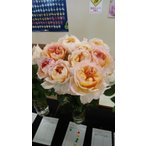19・NEW・バラ苗・切り花品種接ぎ木 シュルーク2〜3号