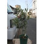 オリーブの木(オリーブ苗木・苗)アイセブンセブン(ワンセブンセブン)6号鉢