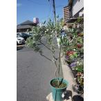 オリーブの木(苗・苗木)バロウニ8号鉢