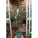 オリーブの木(苗・苗木)サウスオーストラリアベルダル8号鉢