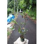 アロニア(苗・苗木) アロニア チョコベリー5号鉢