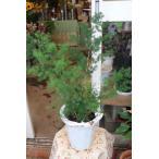 (観葉植物)アスパラガス マコワニー(ミリオン)7号鉢