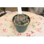 素敵なハオルチア(多肉植物) 紫オブツーサ 2.5号ポット