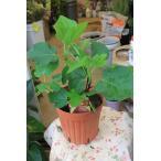 イチジク苗木 日本種(蓬莱柿)1年生苗 5号鉢