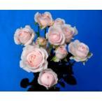 (花持ちが良い切り花品種・バラ苗) SPフェアリーキッス(接ぎ木花なし苗)2〜3号ポット