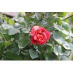(花持ちが良い切り花品種・バラ苗) シャンスゼブラ(接ぎ木花なし苗)2〜3号ポット