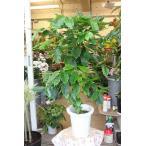 観葉植物 コーヒーの木(コーヒーの木苗木)1本木仕立て 8号鉢ラッピング込 現品