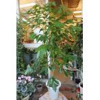(観葉植物・苗木) コーヒーの木(木仕立て)8号鉢ラッピング込 現品