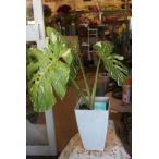 斑入りモンステラ(観葉植物)8号鉢ラッピング込 現品