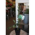 オリーブの木(オリーブ苗木) アルベキナ 4号ロングポット