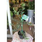 オリーブの木(オリーブ苗木) アルベキナ4.5号鉢