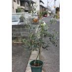 オリーブの木(オリーブ苗木) アスコラーナ・テネラ8号鉢