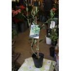 オリーブの木(オリーブ苗木) アスコラーナ4号ロングポット