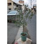 オリーブの木(オリーブ苗木) アザパ8号鉢