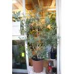 実付きオリーブの木(オリーブ苗木)アザパ9号鉢ラッピング込 現品