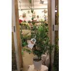 オリーブの木(オリーブ苗木) バルネア6号鉢