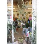 オリーブの木(オリーブ苗木) ビアンケーラ(接ぎ木) バック6号鉢