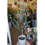 オリーブの木(オリーブ苗木) ブラックイタリアン6号鉢