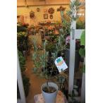 オリーブの木(オリーブ苗木) ホジブランコ6号鉢