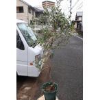 オリーブの木(オリーブ苗木) ジャンボカラマタ8号鉢