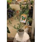 オリーブの木 コラチナ5号鉢 3年生
