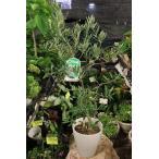 オリーブの木(オリーブ苗木) ハーディーズマンモス7号鉢