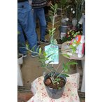 オリーブの木(オリーブ苗木) マンザニロ5号ポット