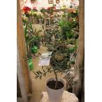 オリーブの木(オリーブ苗木) マウリーノ6号鉢