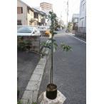 オリーブの木(オリーブ苗木) ノチェッラーラ デル ベリーチェ(接ぎ木)(イタリアSナーセリー) バック6号鉢