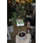 オリーブの木(オリーブ苗木) ピッチョリーネ5号鉢