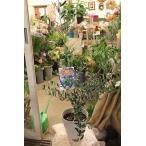 オリーブの木(オリーブ苗木) ラキーノ6号鉢