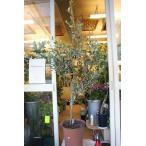 実付きオリーブの木(オリーブ苗木)ルッカ9号鉢ラッピング込 現品